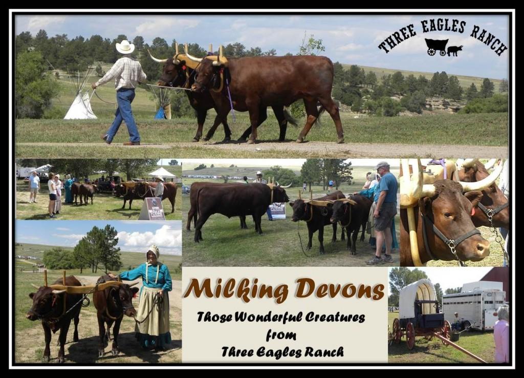 Milking Devons Border